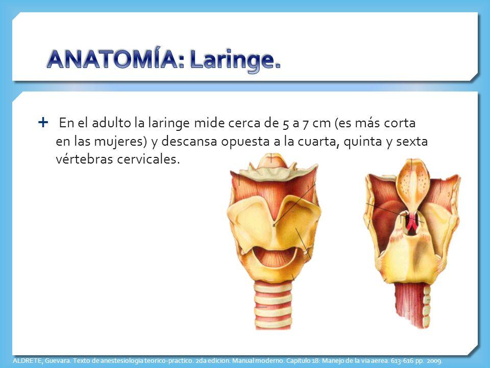 Famoso Anatomía Y Fisiología Laringe Elaboración - Imágenes de ...