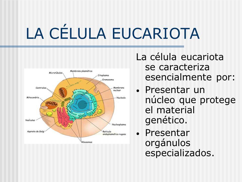 LA CÉLULA EUCARIOTA La célula eucariota se caracteriza esencialmente por: Presentar un núcleo que protege el material genético.