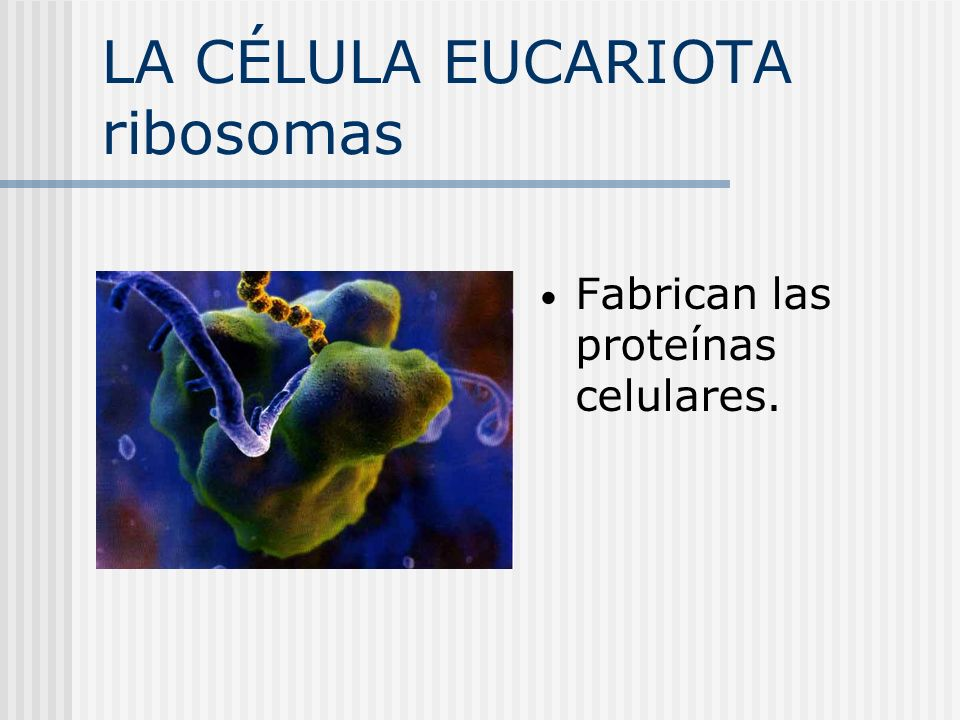LA CÉLULA EUCARIOTA ribosomas
