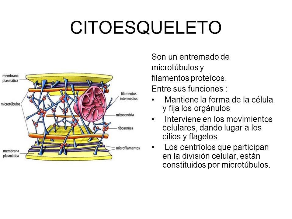 CITOESQUELETO Son un entremado de microtúbulos y filamentos proteícos.