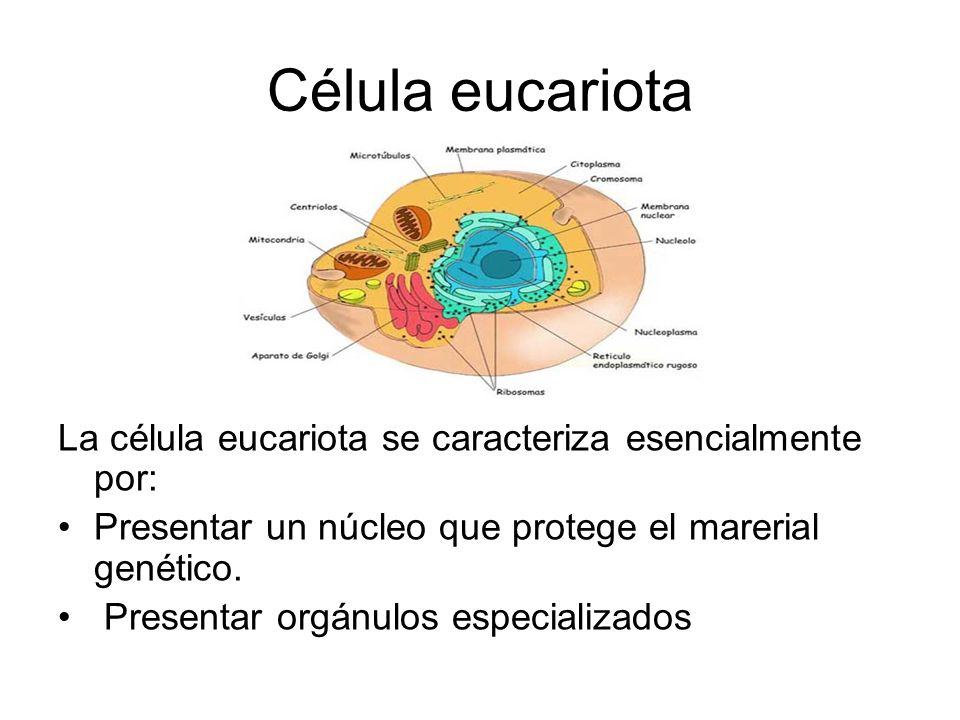 Célula eucariota La célula eucariota se caracteriza esencialmente por: