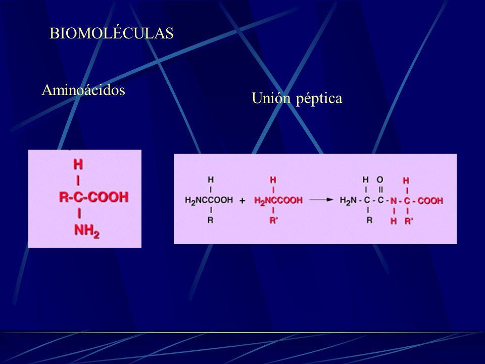 BIOMOLÉCULAS Aminoácidos Unión péptica