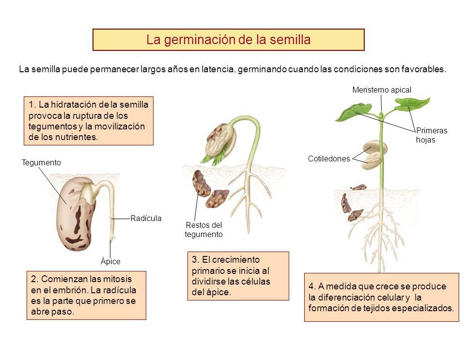 La germinación de la semilla