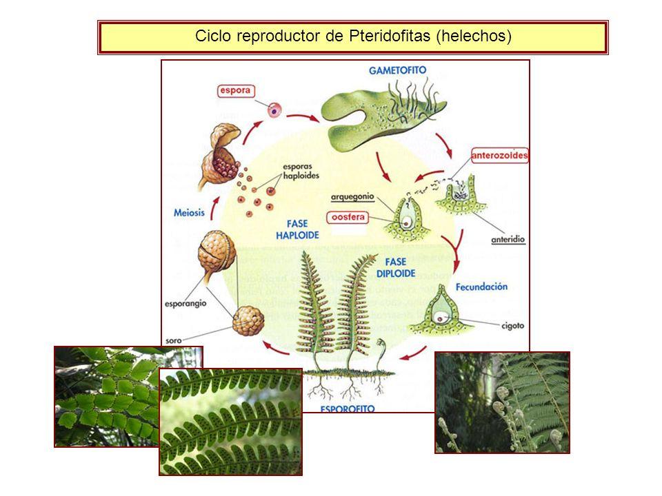 Ciclo reproductor de Pteridofitas (helechos)