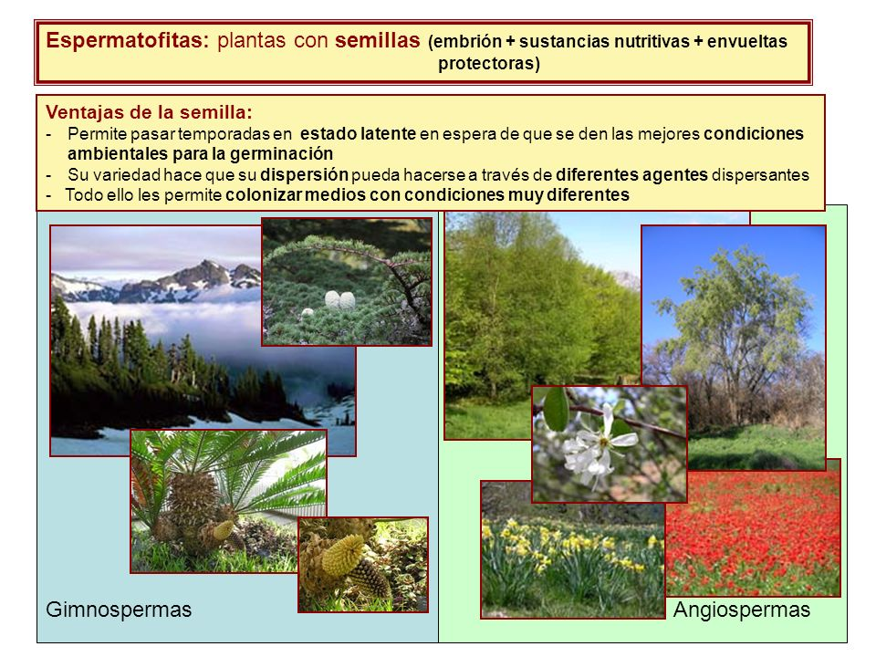 Espermatofitas: plantas con semillas (embrión + sustancias nutritivas + envueltas protectoras)