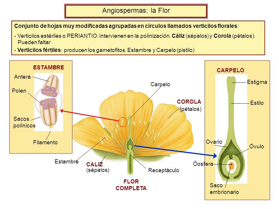 Angiospermas: la Flor Conjunto de hojas muy modificadas agrupadas en círculos llamados verticilos florales: