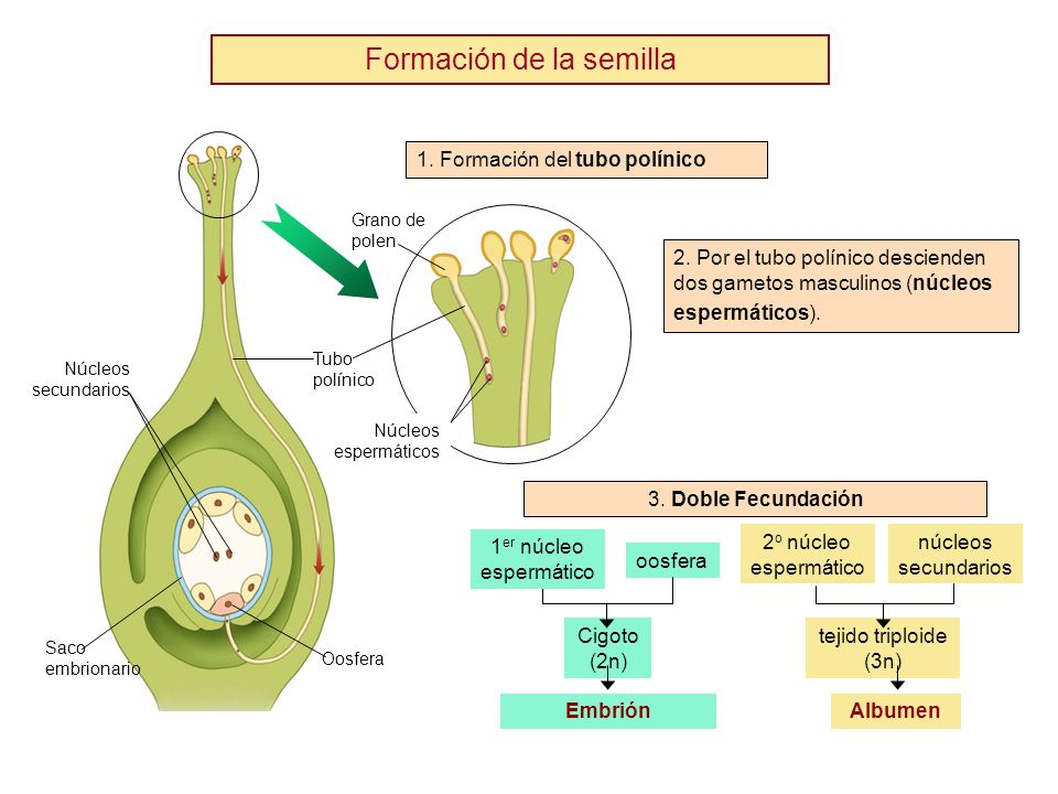 Formación de la semilla