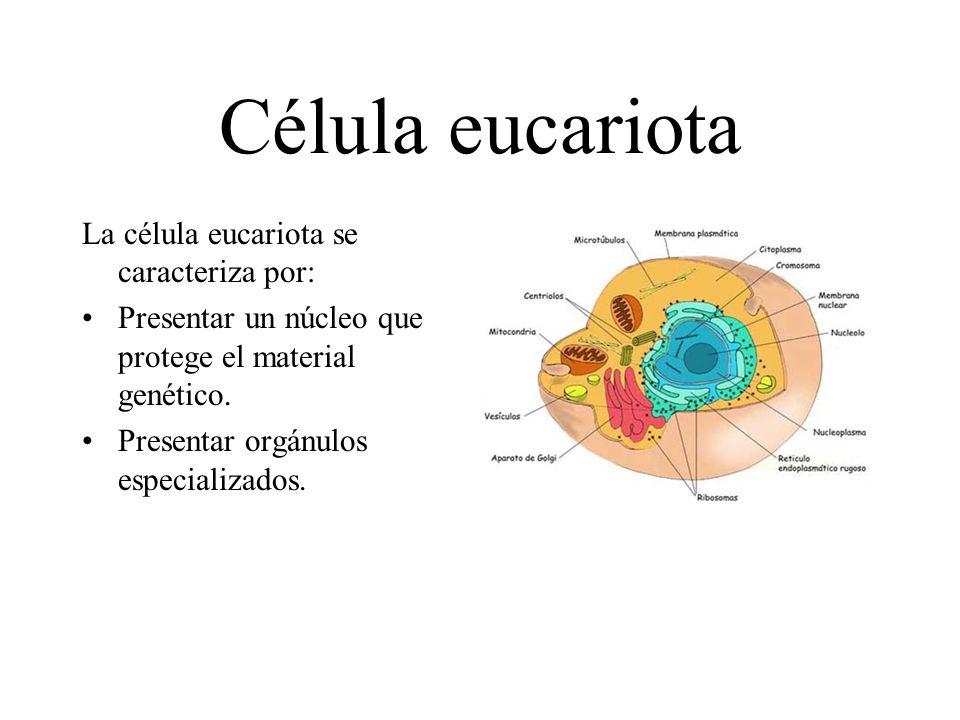 Célula eucariota La célula eucariota se caracteriza por: