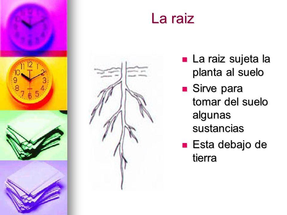 La raiz La raiz sujeta la planta al suelo