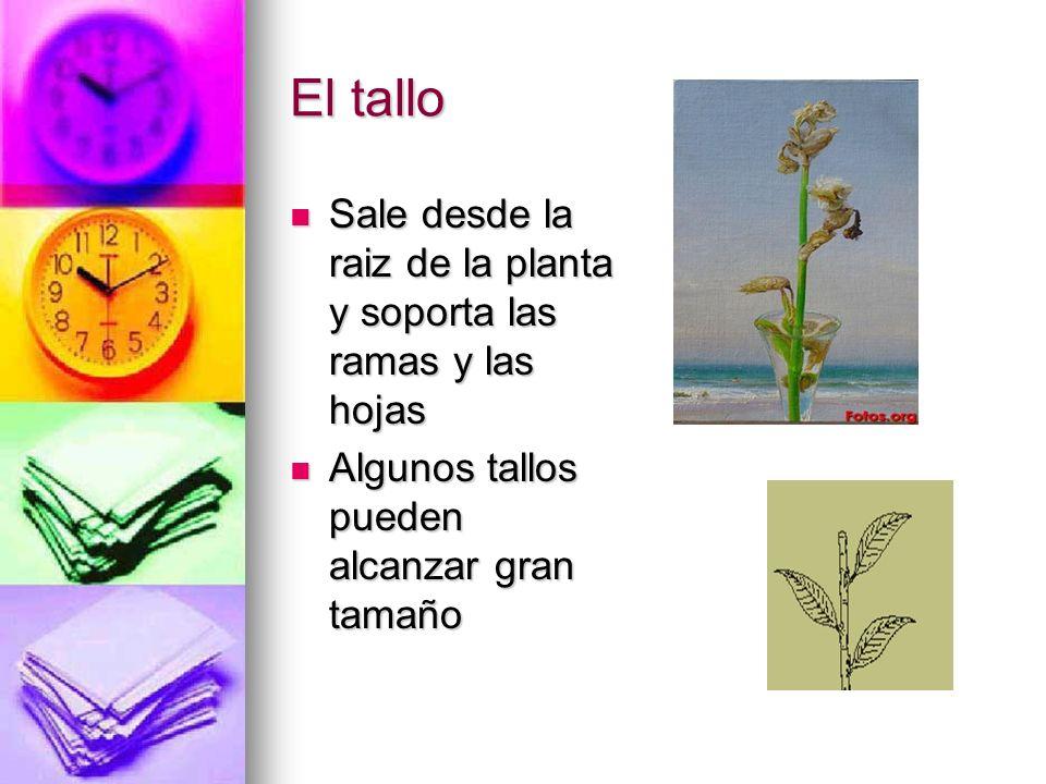 El talloSale desde la raiz de la planta y soporta las ramas y las hojas.