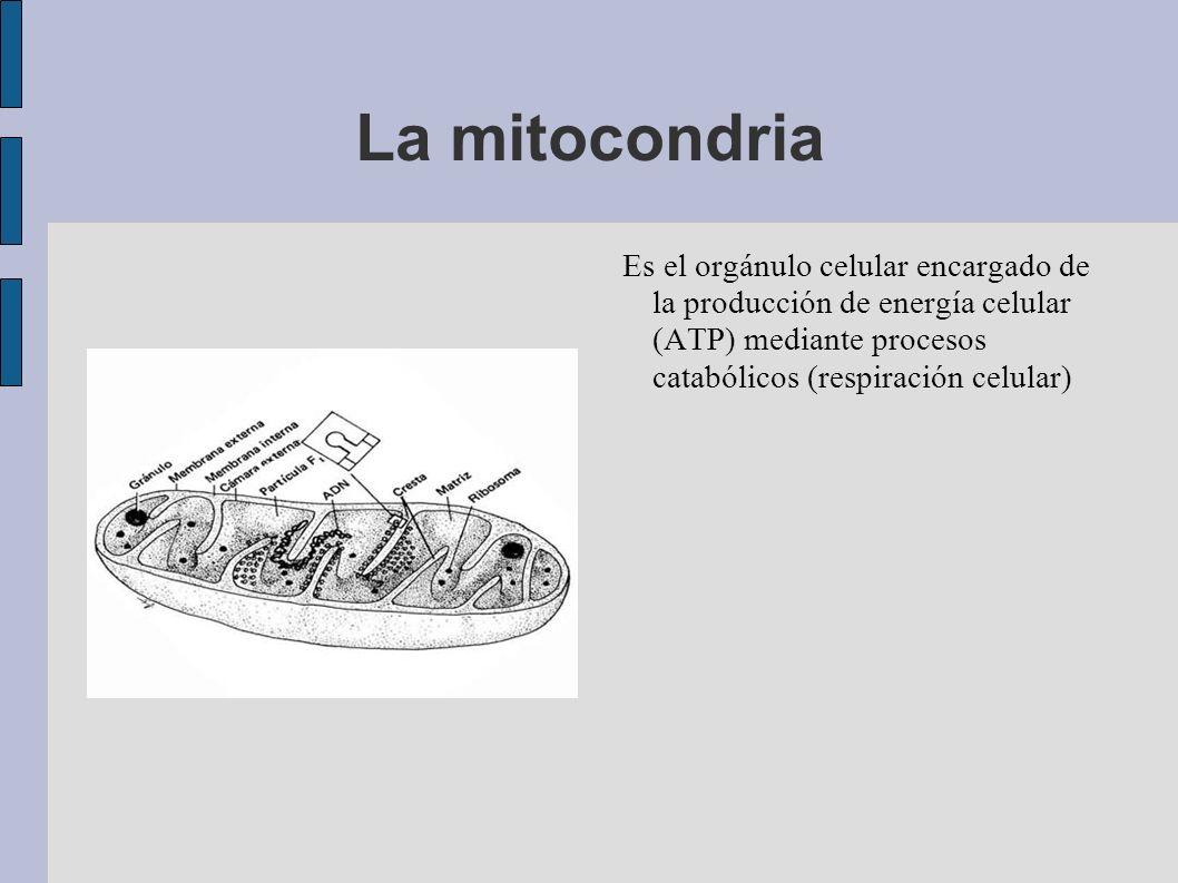 La mitocondria Es el orgánulo celular encargado de la producción de energía celular (ATP) mediante procesos catabólicos (respiración celular)
