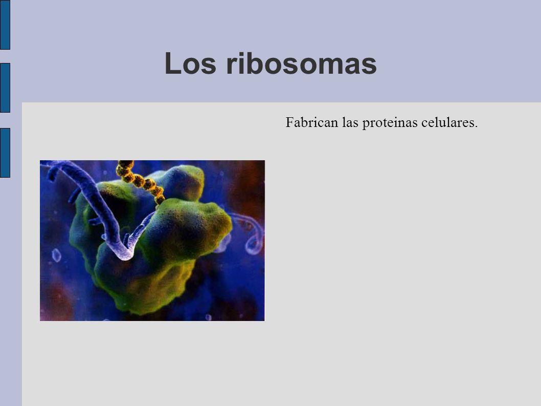 Los ribosomas Fabrican las proteinas celulares.