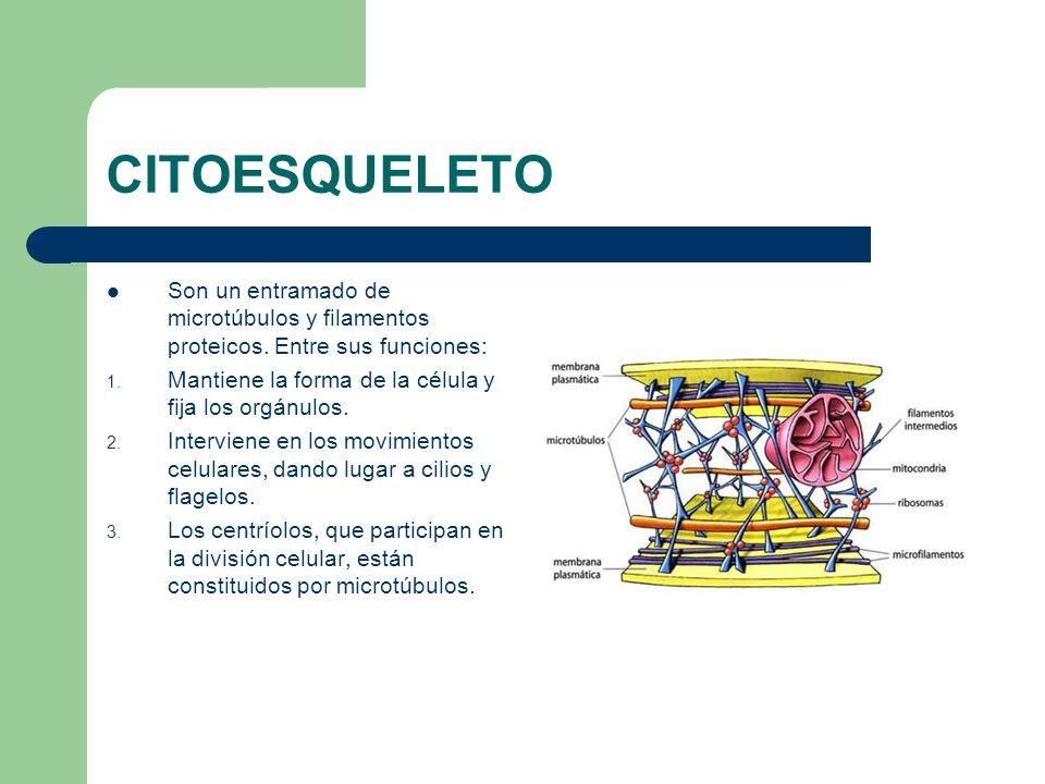 CITOESQUELETO Son un entramado de microtúbulos y filamentos proteicos. Entre sus funciones: Mantiene la forma de la célula y fija los orgánulos.