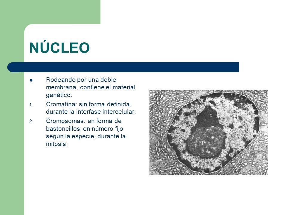 NÚCLEO Rodeando por una doble membrana, contiene el material genético: