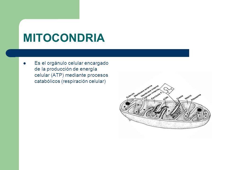 MITOCONDRIA Es el orgánulo celular encargado de la producción de energía celular (ATP) mediante procesos catabólicos (respiración celular)