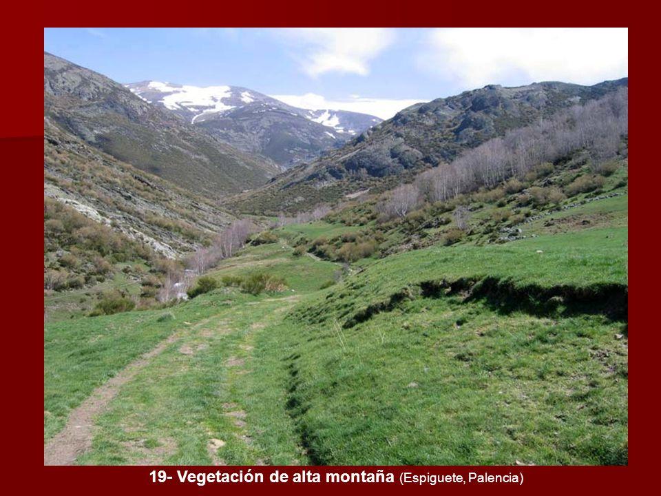 19- Vegetación de alta montaña (Espiguete, Palencia)