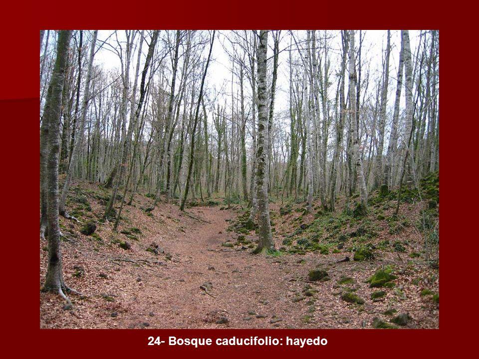 24- Bosque caducifolio: hayedo