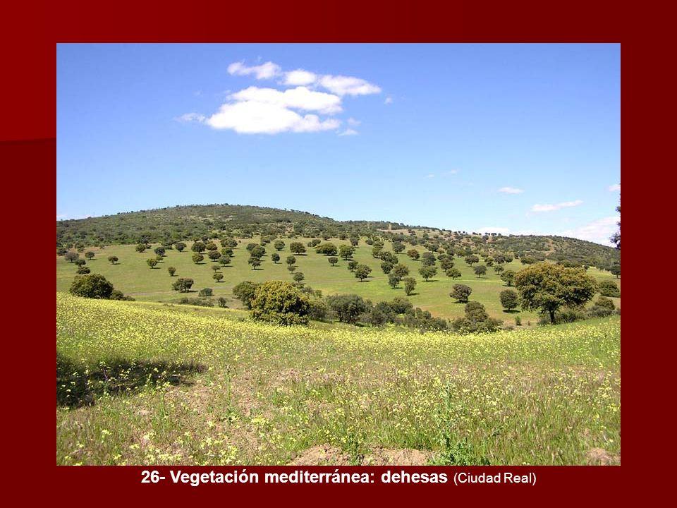 26- Vegetación mediterránea: dehesas (Ciudad Real)