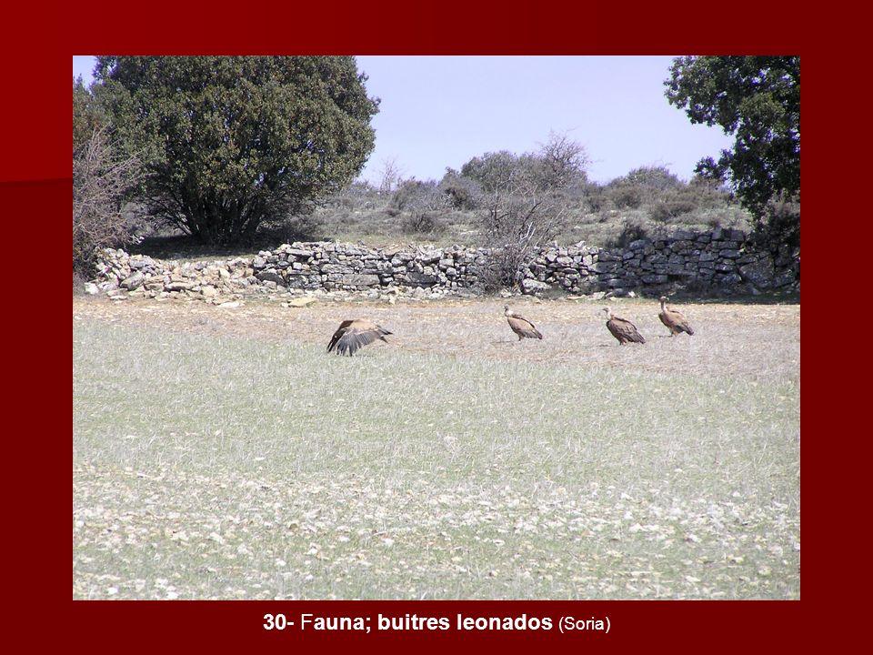 30- Fauna; buitres leonados (Soria)