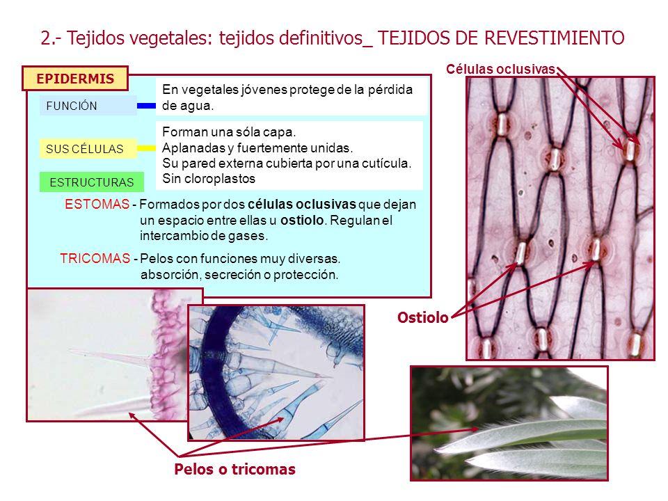 2.- Tejidos vegetales: tejidos definitivos_ TEJIDOS DE REVESTIMIENTO