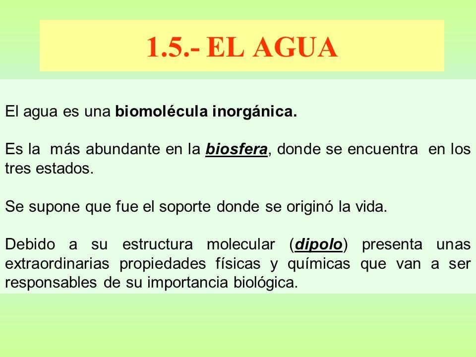 1.5.- EL AGUA El agua es una biomolécula inorgánica.