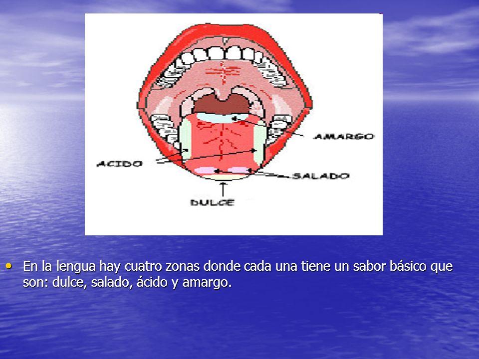 d En la lengua hay cuatro zonas donde cada una tiene un sabor básico que son: dulce, salado, ácido y amargo.