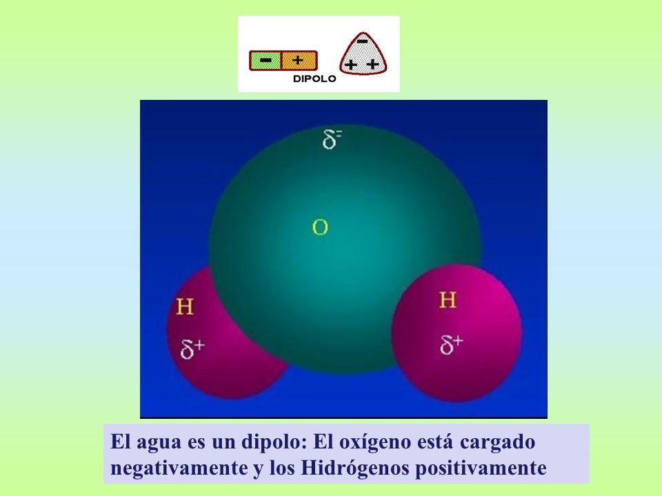 El agua es un dipolo: El oxígeno está cargado negativamente y los Hidrógenos positivamente