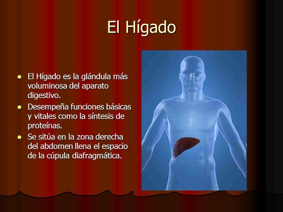El Hígado El Hígado es la glándula más voluminosa del aparato digestivo. Desempeña funciones básicas y vitales como la síntesis de proteínas.