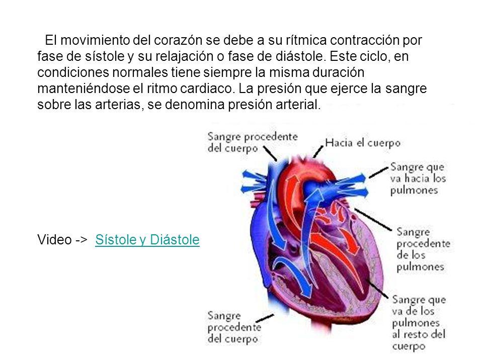 El movimiento del corazón se debe a su rítmica contracción por fase de sístole y su relajación o fase de diástole. Este ciclo, en condiciones normales tiene siempre la misma duración manteniéndose el ritmo cardiaco. La presión que ejerce la sangre sobre las arterias, se denomina presión arterial.