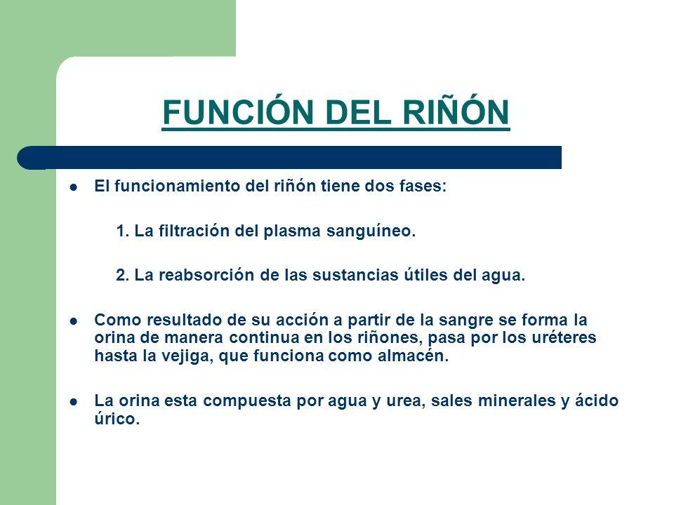 FUNCIÓN DEL RIÑÓN El funcionamiento del riñón tiene dos fases: