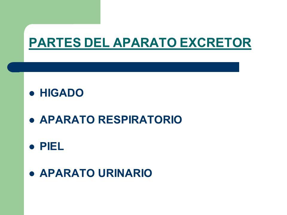 PARTES DEL APARATO EXCRETOR