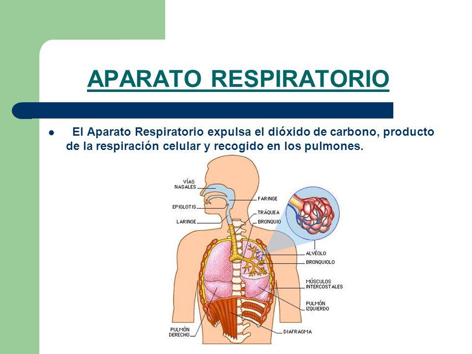 APARATO RESPIRATORIOEl Aparato Respiratorio expulsa el dióxido de carbono, producto de la respiración celular y recogido en los pulmones.