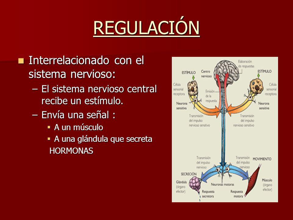 REGULACIÓN Interrelacionado con el sistema nervioso: