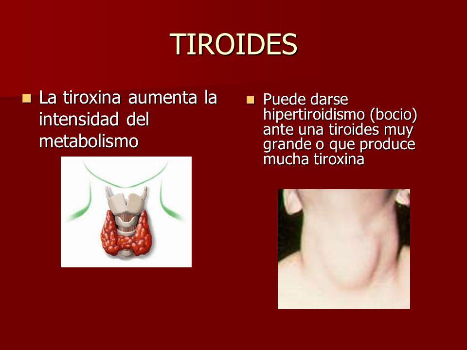 TIROIDES La tiroxina aumenta la intensidad del metabolismo