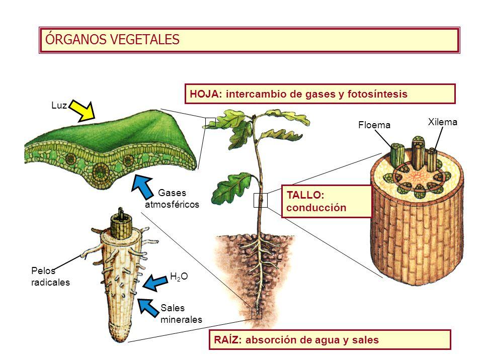 ÓRGANOS VEGETALES HOJA: intercambio de gases y fotosíntesis