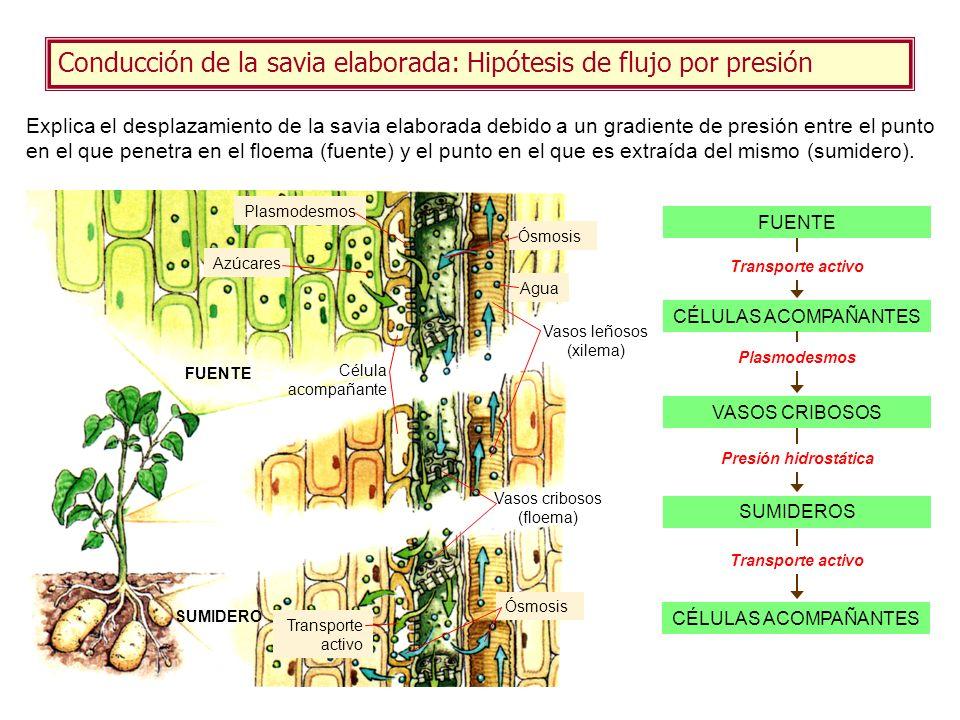 Conducción de la savia elaborada: Hipótesis de flujo por presión