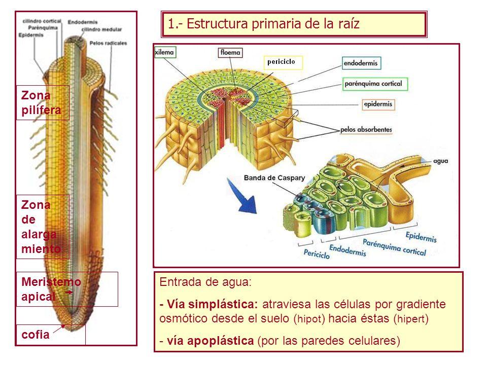 1.- Estructura primaria de la raíz