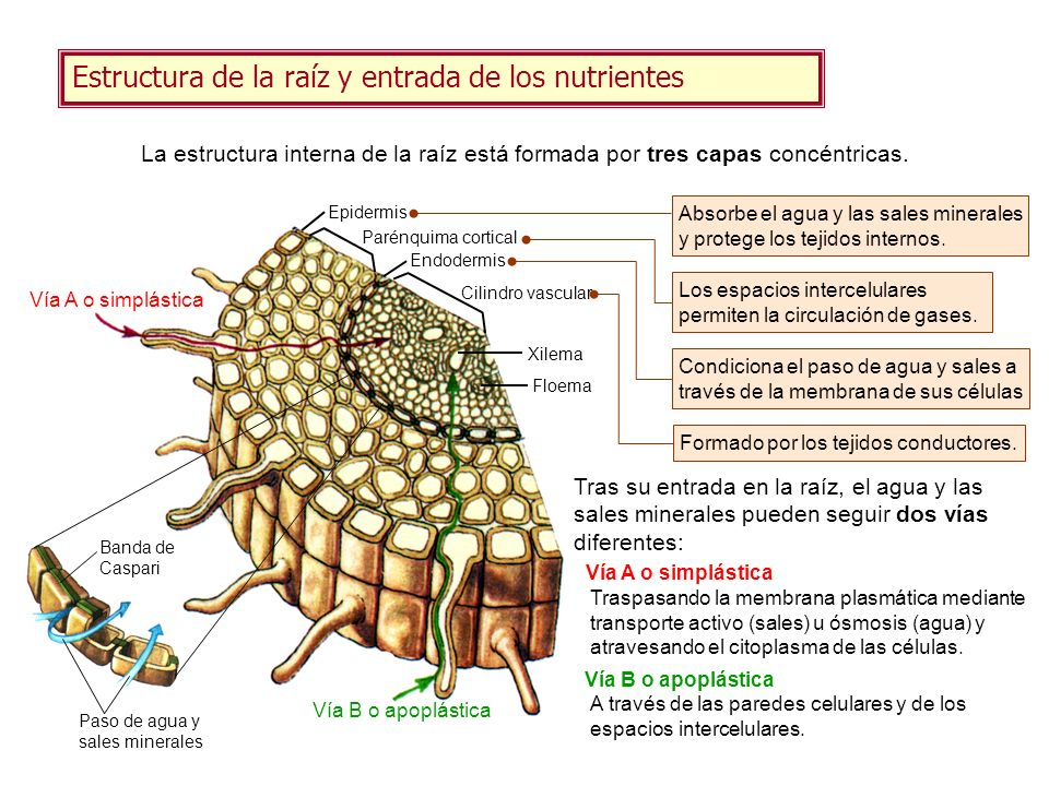 Estructura de la raíz y entrada de los nutrientes