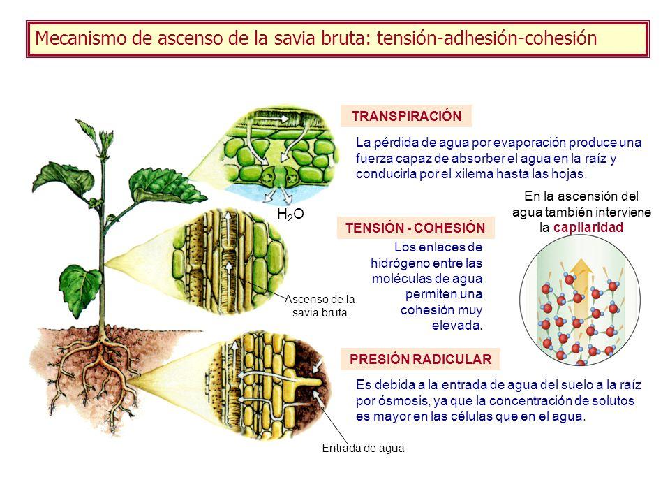 Mecanismo de ascenso de la savia bruta: tensión-adhesión-cohesión