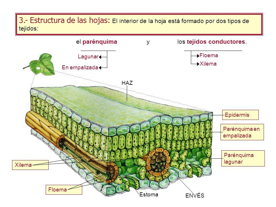 3.- Estructura de las hojas: El interior de la hoja está formado por dos tipos de tejidos: