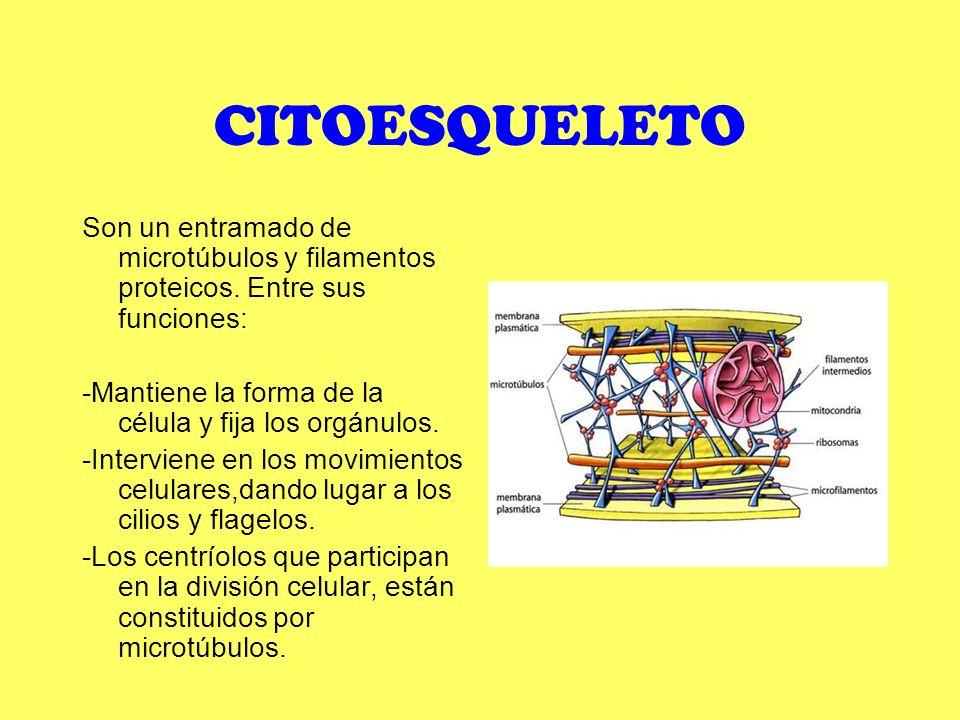 CITOESQUELETO Son un entramado de microtúbulos y filamentos proteicos. Entre sus funciones: -Mantiene la forma de la célula y fija los orgánulos.