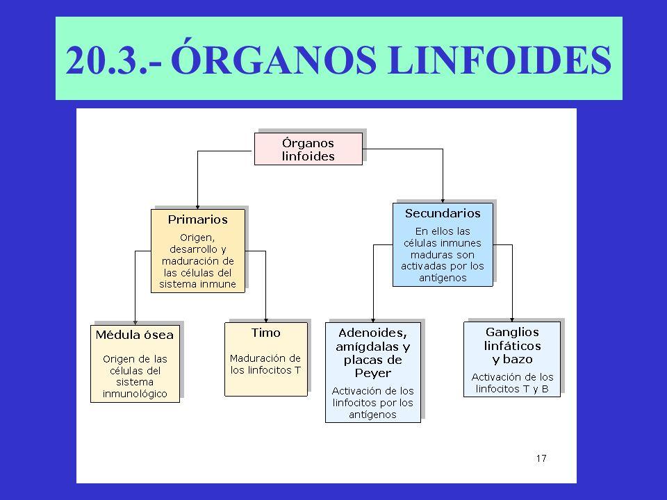 20.3.- ÓRGANOS LINFOIDES
