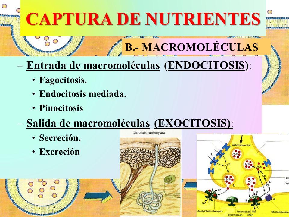 CAPTURA DE NUTRIENTES B.- MACROMOLÉCULAS