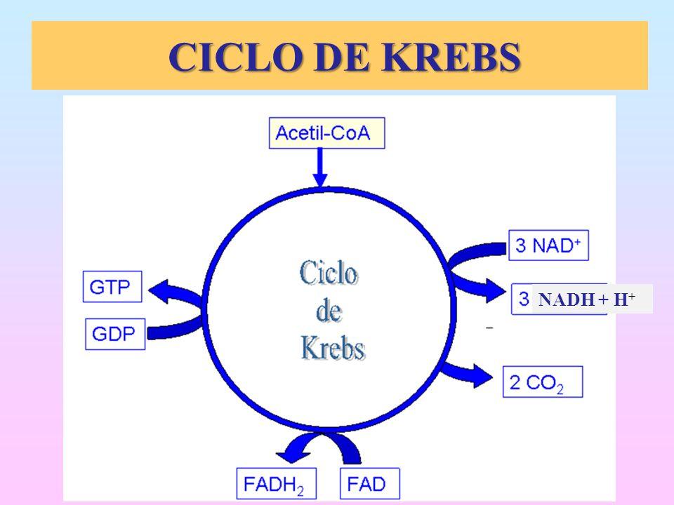 CICLO DE KREBS NADH + H+