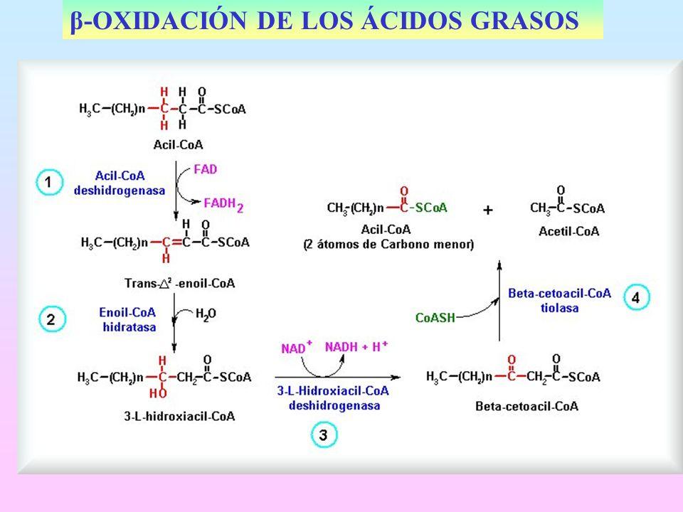β-OXIDACIÓN DE LOS ÁCIDOS GRASOS