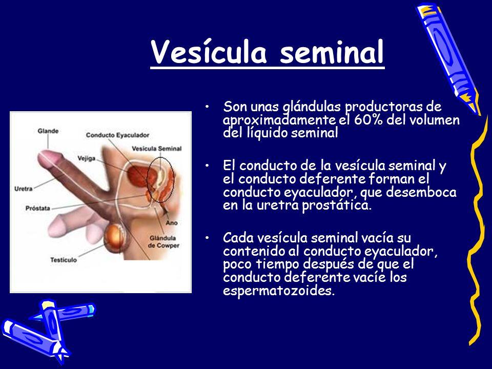 Vesícula seminal Son unas glándulas productoras de aproximadamente el 60% del volumen del líquido seminal.