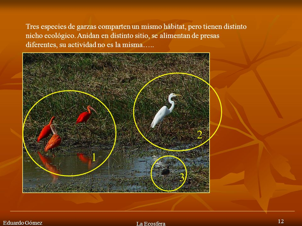 Tres especies de garzas comparten un mismo hábitat, pero tienen distinto nicho ecológico. Anidan en distinto sitio, se alimentan de presas diferentes, su actividad no es la misma…..