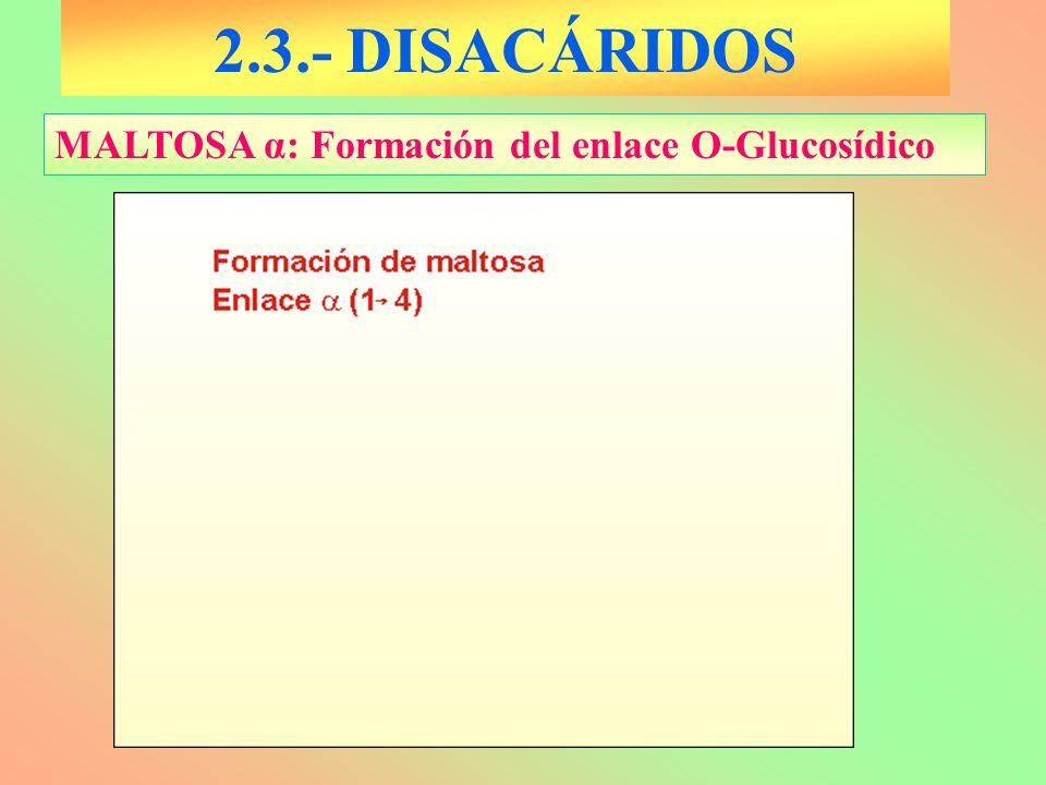 2.3.- DISACÁRIDOS MALTOSA α: Formación del enlace O-Glucosídico