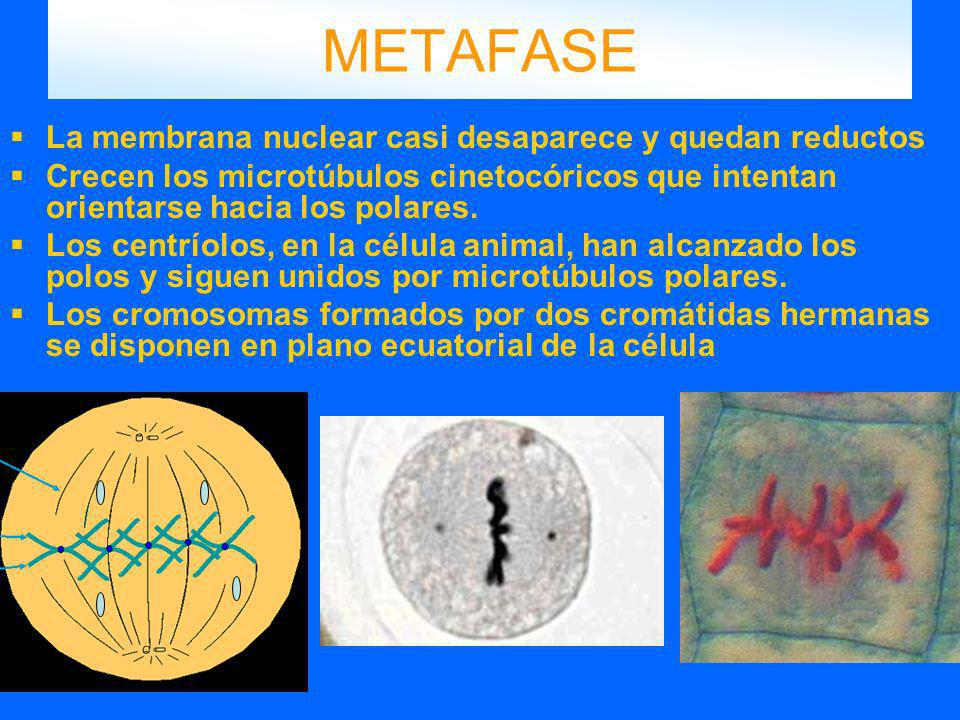 METAFASE La membrana nuclear casi desaparece y quedan reductos