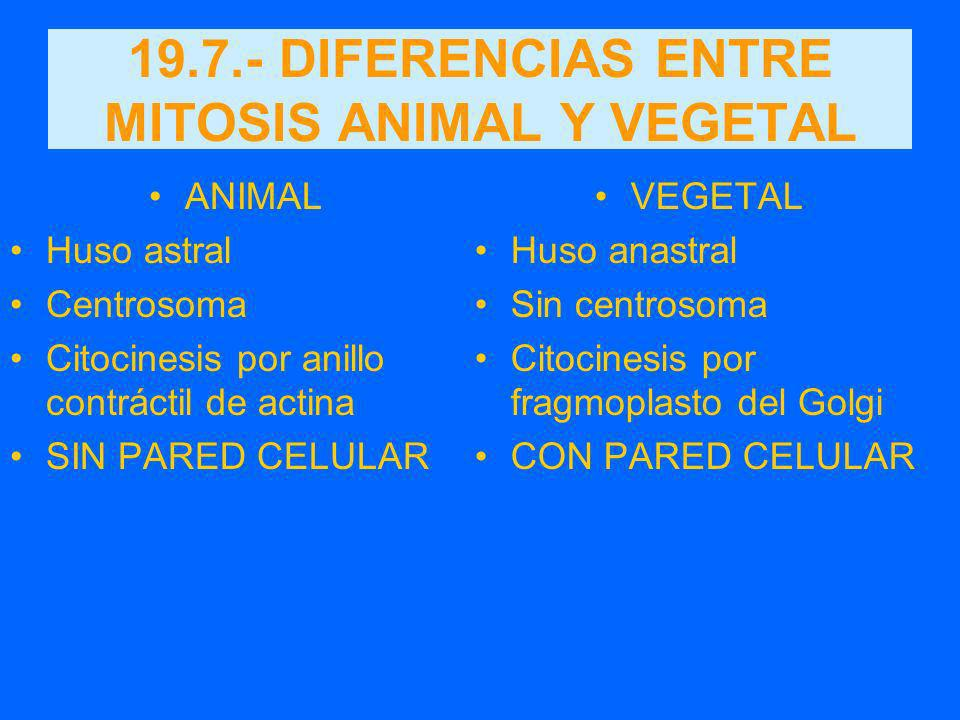 19.7.- DIFERENCIAS ENTRE MITOSIS ANIMAL Y VEGETAL